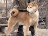 Собаки, щенки Восточно-Сибирская лайка, цена 1600 Грн., Фото