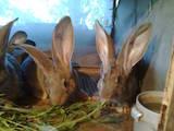 Гризуни Кролики, ціна 250 Грн., Фото