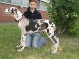 Собаки, щенята Німецький дог, ціна 4500 Грн., Фото