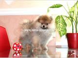 Собаки, щенята Малий шпіц, ціна 25000 Грн., Фото