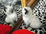 Кошки, котята Тайская, цена 250 Грн., Фото