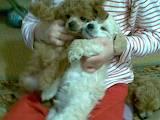 Собаки, щенята Той-пудель, ціна 800 Грн., Фото