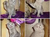 Кошки, котята Британская длинношёрстная, цена 700 Грн., Фото