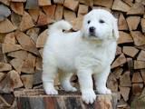 Собаки, щенки Польская подхаланская овчарка, цена 4800 Грн., Фото