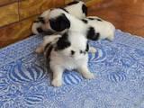Собаки, щенки Японский хин, цена 8000 Грн., Фото