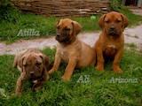 Собаки, щенки Южноафриканский бурбуль, цена 6000 Грн., Фото