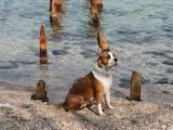 Собаки, щенята Стаффордширський бультер'єр, ціна 6000 Грн., Фото