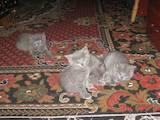 Кошки, котята Русская голубая, цена 350 Грн., Фото