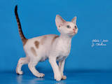 Кішки, кошенята Девон-рекс, ціна 2500 Грн., Фото