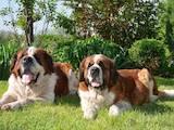 Собаки, щенята Сенбернар, ціна 5000 Грн., Фото
