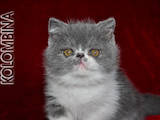 Кошки, котята Экзотическая короткошерстная, цена 4000 Грн., Фото