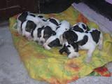 Собаки, щенки Русская борзая, цена 400 Грн., Фото