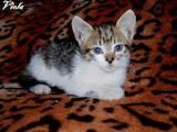 Кошки, котята Европейская короткошерстная, цена 40 Грн., Фото