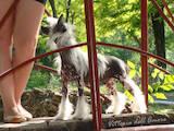 Собаки, щенята Китайська чубата собака, ціна 3200 Грн., Фото
