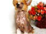 Собаки, щенята Китайська чубата собака, ціна 5000 Грн., Фото