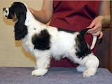 Собаки, щенята Американський коккер, ціна 3200 Грн., Фото