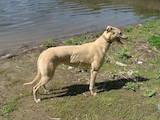 Собаки, щенки Грейхаунд, цена 500 Грн., Фото