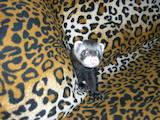 Животные Фретки, хорьки, цена 500 Грн., Фото