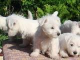 Собаки, щенята Вестхайленд уайт тер'єр, ціна 3000 Грн., Фото
