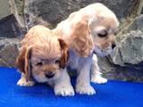 Собаки, щенки Американский коккер, цена 2500 Грн., Фото