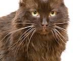 Кошки, котята Йоркская шоколадная, цена 100 Грн., Фото