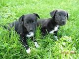 Собаки, щенки Карликовый пинчер, цена 200 Грн., Фото