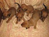 Собаки, щенята Гладкошерста мініатюрна такса, ціна 800 Грн., Фото