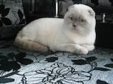 Кошки, котята Шотландская короткошерстная, цена 400 Грн., Фото