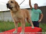 Собаки, щенята Іспанська мастіф, ціна 6000 Грн., Фото