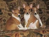 Собаки, щенята Басенджі, ціна 6400 Грн., Фото