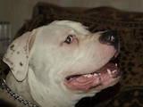 Собаки, щенята Американський бульдог, Фото