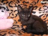 Кошки, котята Гавана, цена 300 Грн., Фото