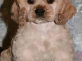 Собаки, щенята Американський коккер, ціна 2000 Грн., Фото