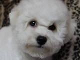Собаки, щенята Бішон фрісе, ціна 10000 Грн., Фото
