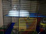 Грызуны Домашние крысы, цена 250 Грн., Фото