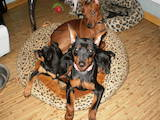 Собаки, щенки Карликовый пинчер, цена 4000 Грн., Фото