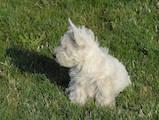 Собаки, щенки Вестхайленд уайт терьер, цена 5000 Грн., Фото