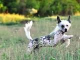 Собаки, щенки Китайская хохлатая собака, цена 2500 Грн., Фото