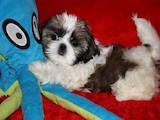 Собаки, щенки Ши-тцу, цена 2400 Грн., Фото