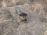 Собаки, щенята Російський спаніель, ціна 1000 Грн., Фото