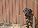 Собаки, щенята Бульмастиф, ціна 6000 Грн., Фото