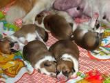 Собаки, щенки Вельш корги пемброк, цена 3800 Грн., Фото