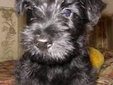 Собаки, щенята Скотчтерьер, ціна 3000 Грн., Фото