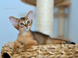 Кошки, котята Абиссинская, цена 7000 Грн., Фото
