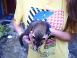 Грызуны Домашние крысы, цена 500 Грн., Фото