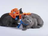 Кошки, котята Русская голубая, цена 3600 Грн., Фото