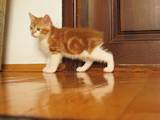 Кішки, кошенята Курильський бобтейл, ціна 2000 Грн., Фото