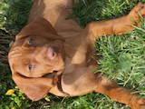 Собаки, щенки Венгерская выжла, цена 1000 Грн., Фото