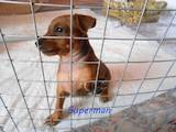 Собаки, щенки Карликовый пинчер, цена 4500 Грн., Фото