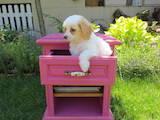 Собаки, щенки Китайская хохлатая собака, цена 800 Грн., Фото